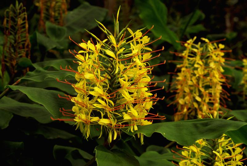 ingverjev cvet
